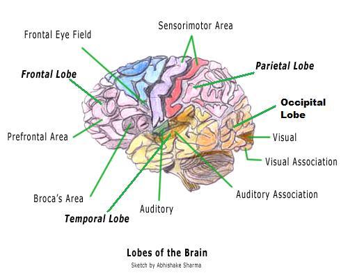 Brain Diagram2
