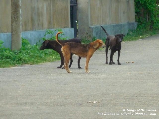 chiens errants au Sri Lanka
