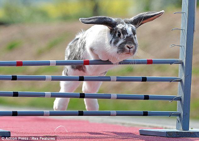 http://4.bp.blogspot.com/-xFP_3RBzzFg/Tblf21m9zqI/AAAAAAAAApY/SZGeHIGNNH8/s1600/Rabbit%2Bdressage%2Bset%2Bto%2Btake%2Bthe%2Bworld%2Bby%2Bstorm%2B3.jpg