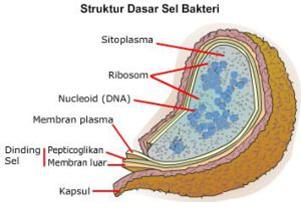 struktur dasar sel bakteri