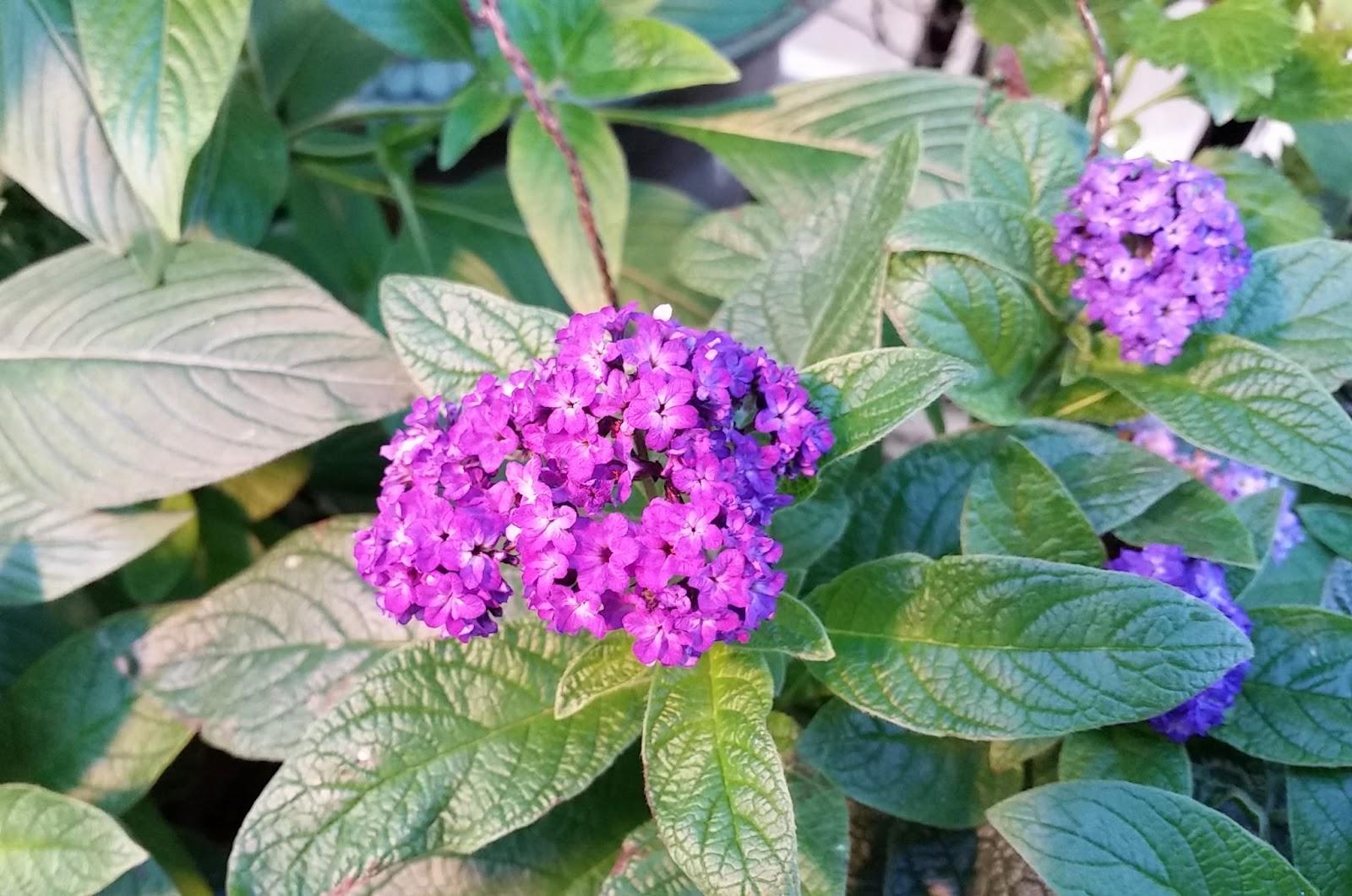 Heliotrope in the Butterfly Garden | MOSI Outside
