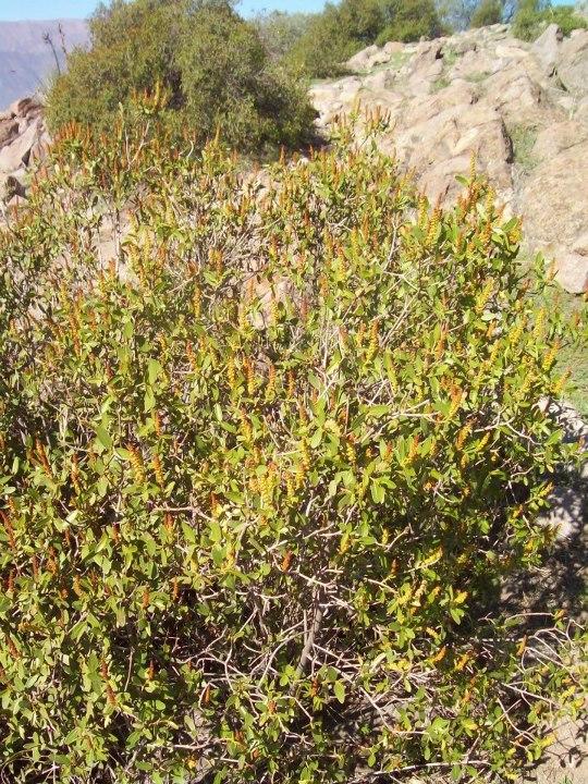 Especies chilenas el colliguay colliguaja odorifera - Especies de arbustos ...