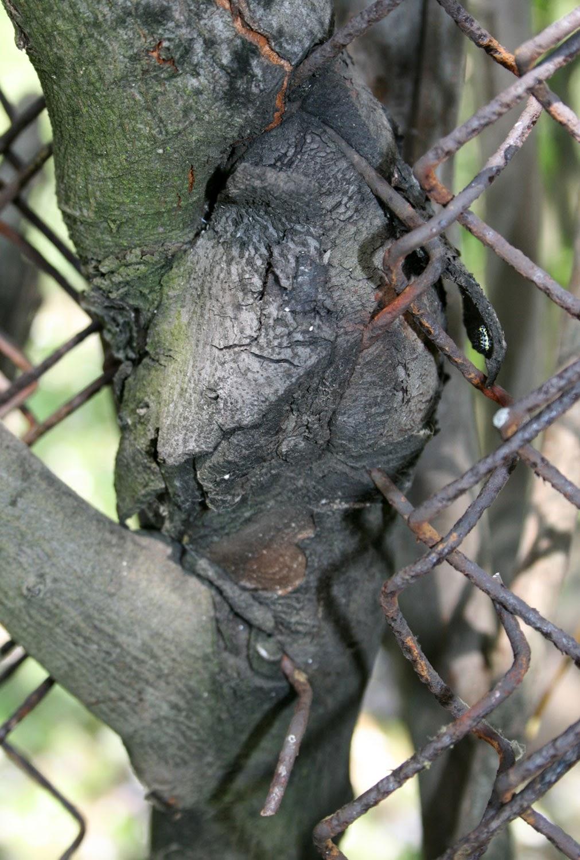 The tree grew around the fence