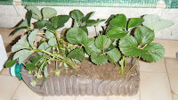 Morangueiros para plantar