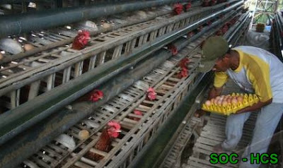 Cara Ampuh Untuk Meningkatkan Produktifitas Ayam Petelur