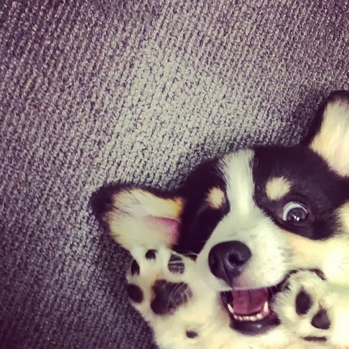 The daily corgi what is derp