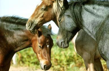 horses snoozing