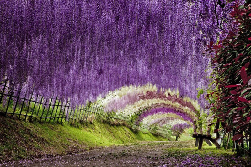 Wisteria flower tunnel in japan 20 unbelievably Wisteria flower tunnel path in japan