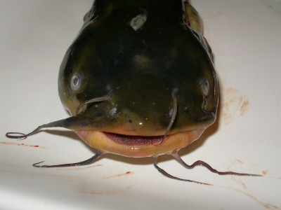 Pesce Gatto Al Forno Le Ricette Di Esmeralda E Rosa