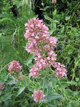 Centranthus ruber (Valeriana rossa)