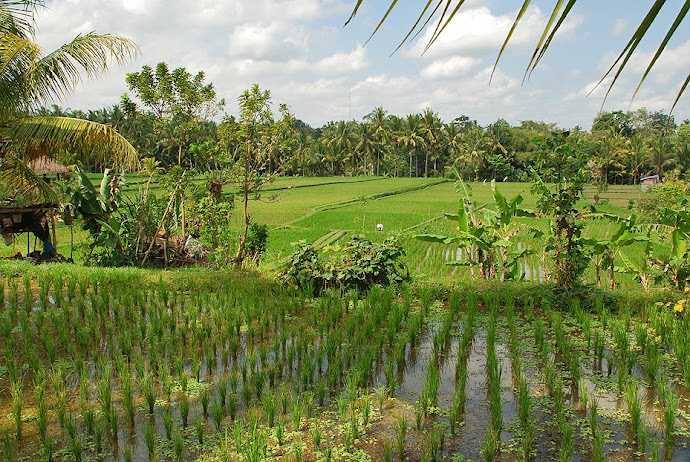 Panorámica de campos de arroz