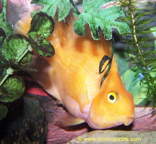 Flowerhorn the hybrid cichlids 09 02 11 for Blood parrot fish