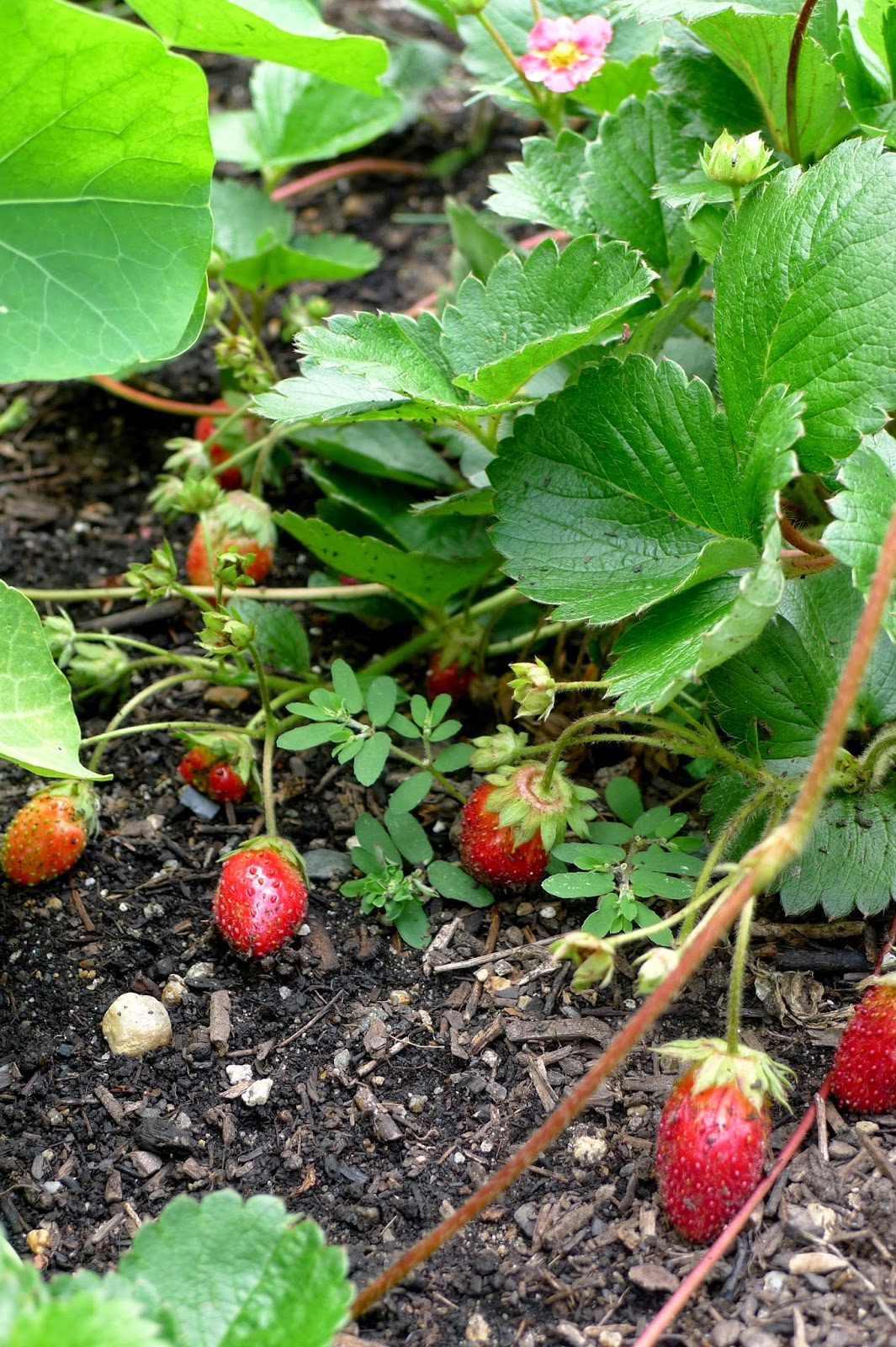 Less Noise,More Green Edible Landscape Project: Fragoo Deep Rose Everbearing Strawberry, Fragaria x ananassa, perennial, fruit