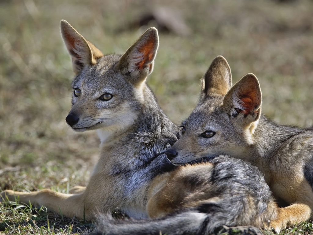 all about animal wildlife jackal hd wallpapers 2012