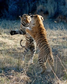 Boxing tigers