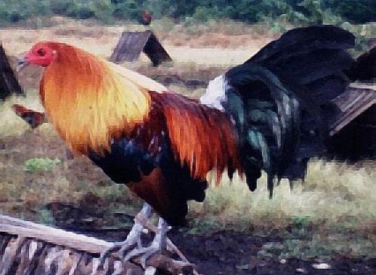 Ver Galería de Fotos de Gallos de Pelea del Mundo