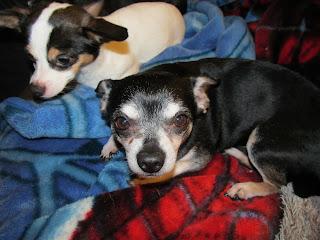 Lenny the Chihuahua