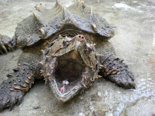 tortuga caimán mordiendo