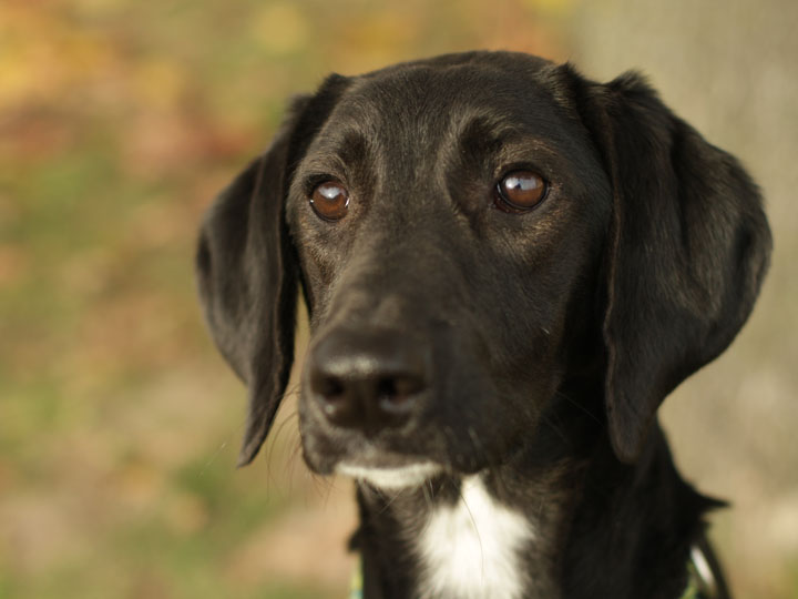 lab pointer dog mix - photo #9