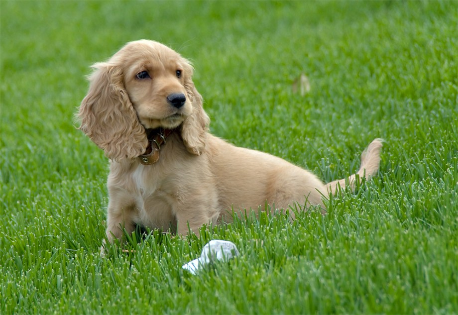 Cocker Spaniel Puppy Pictures | Puppy Pictures and Information