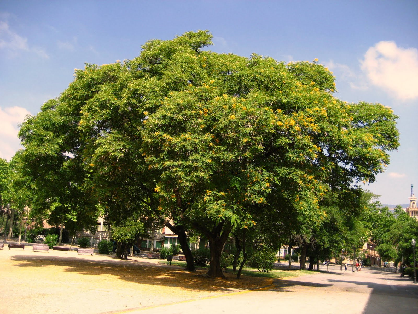 árboles Con Alma Palo Rosa Acacia De Flor Amarilla Tipuana Tipu