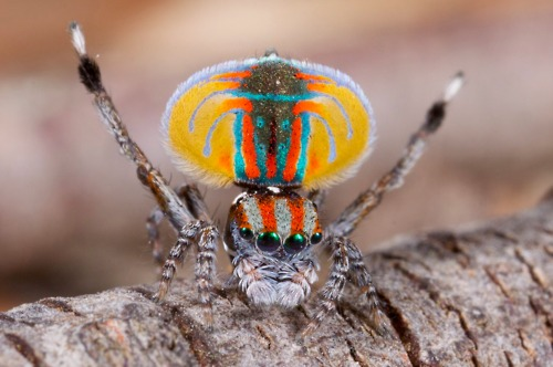Peacock jumping spiders - photo#12