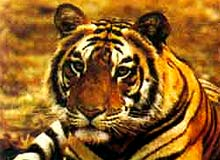 My English Class Essay Indian National Animal Essay Lines About Tiger Paragraph On Tiger Essay On  Tiger My Favorite Animal Our National Animal  Essay On Tiger Thesis Statements Examples For Argumentative Essays also Proposal Essay Topic Ideas Essay Tiger Our National Animal Proposal Essay Topics Ideas