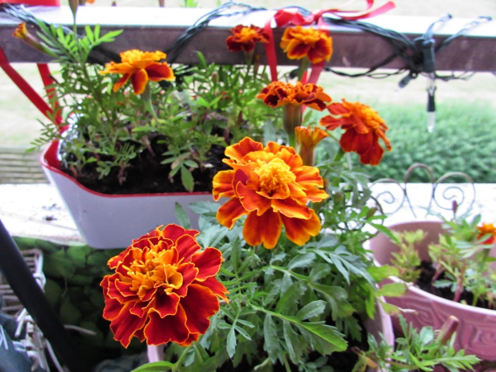 Karolines retro: det blomstrer stadig på min altan