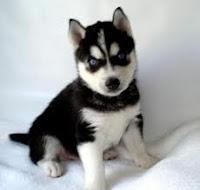Husky, Husky Siberiano, Perro, cachorro