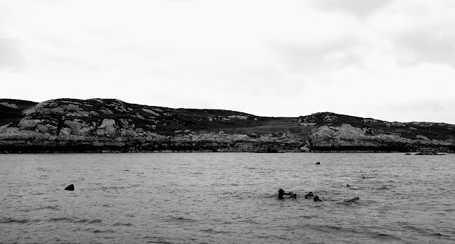 Group of swimmers with three Basking Sharks - Isle of Coll, Scotland