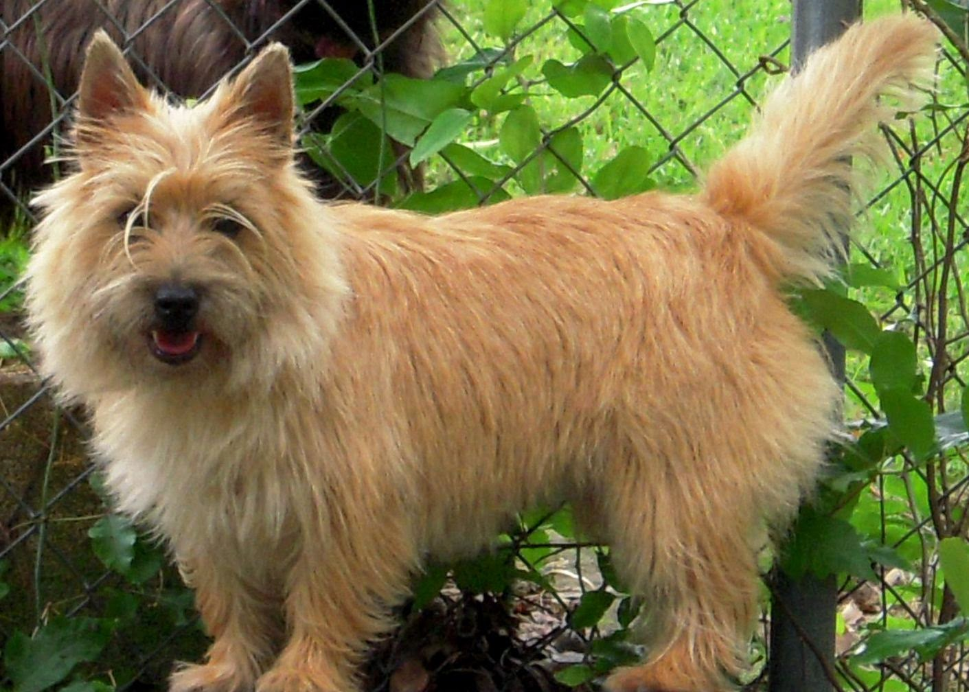 Wheaten Terrier Haircut Pictures 9291791 Dewingerdfo
