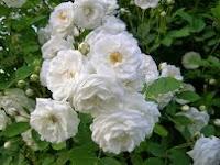 Khasiat tanaman bunga melati
