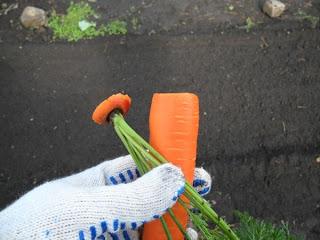 22 сентября, морковь обрезаю