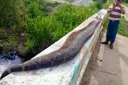 Penduduk Desa Kalahkan Ular 10 Meter dengan Tongkat Kayu