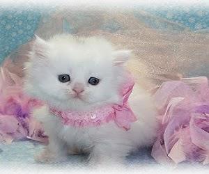 Kucing tercantik didunia