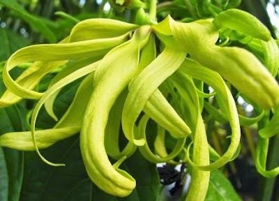 9 Khasiat Bunga Kenanga Bagi Kesehatan