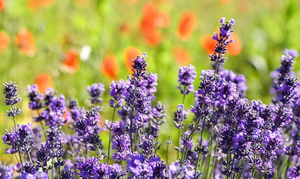 wallpaper lavender full hd