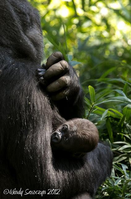 Baby Gorilla Bomassa