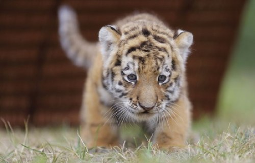 Image Result For Baby Sumatran Tigers Picturesa
