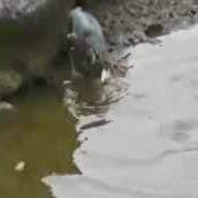 Inacreditável vídeo mostra pássaro pescando