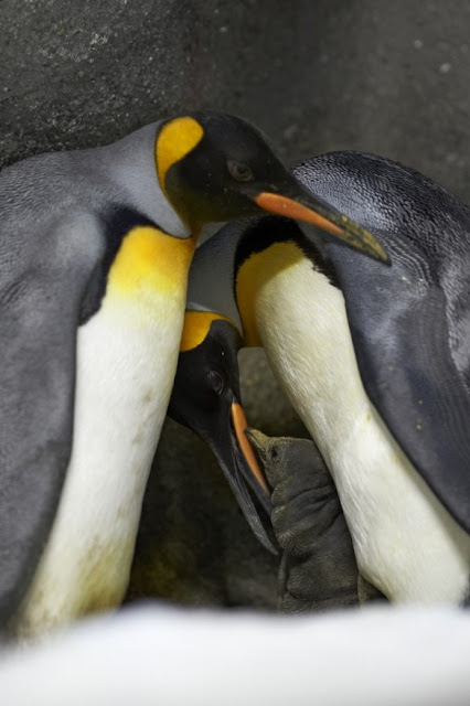 casal de pinguins gays 2