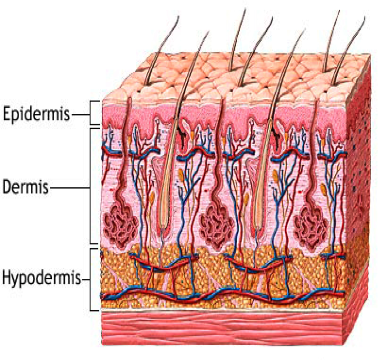 Anatomia Aplicada