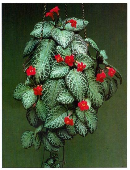 Piante e fiori episcia for Piante ricadenti perenni