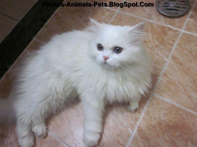 http://4.bp.blogspot.com/-xLnH_Y-E-R8/Tc3m6Y0jC8I/AAAAAAAABDU/6KBRa_RyW4w/s1600/white%2Bcat%2Bpictures_0002.JPG