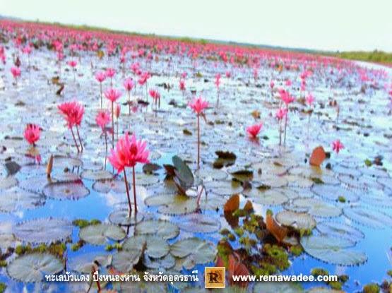 ทะเลบัวแดง บานสะพรั่งที่หนองหาน กุมภวาปี จังหวัดอุดรธานี
