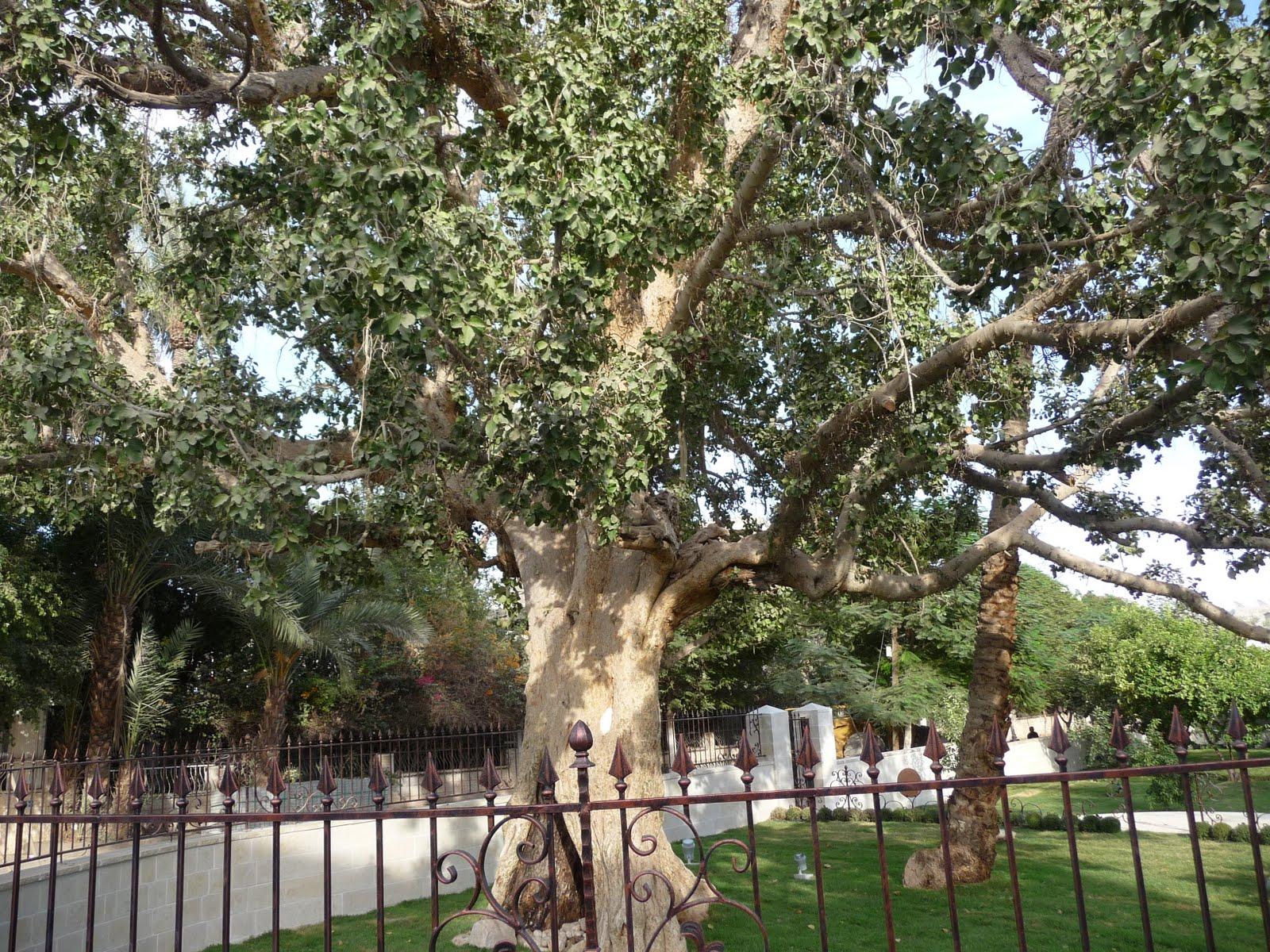 arbol de sicomoro o aliso baja california platanus