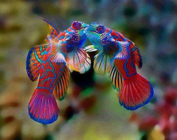 MandarinFish Ikan Paling Eksotis dan Berwarna yang Pernah Ada-8