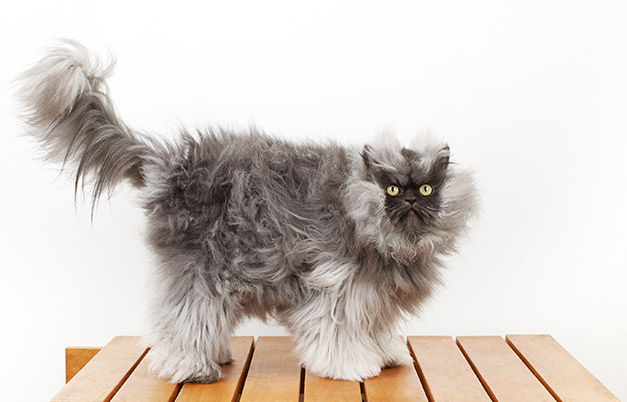 Colonel Meow, A Himalayan Persian Cross Breed Holds The World Record For  Longest Fur On A Cat.