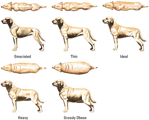 chart of illustrations of a yellow lab from above and the side, showing them at emaciated, thin, ideal, heavy and grossly obese