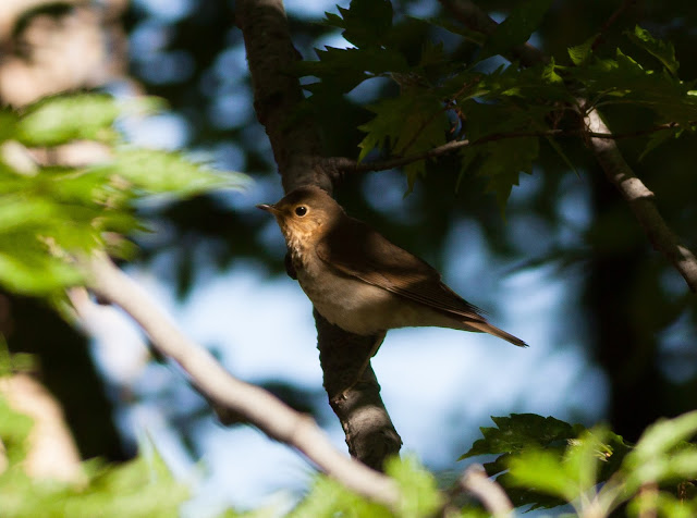 Swainson's Thrush - New York